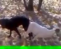 Mamil Loval Animal Szex